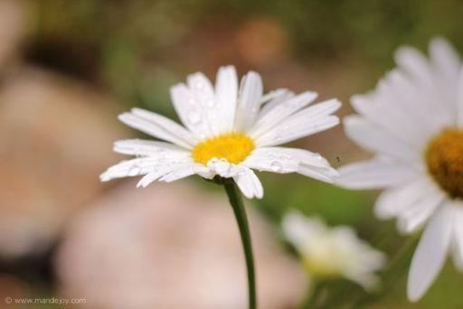 Daisy-2 MJ