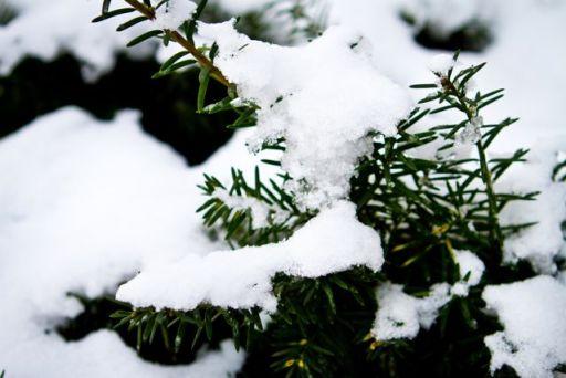 Snowy Evergreen Cherish