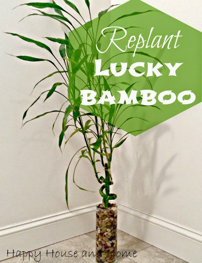 lucky bamboo replant - Sarah Celebrates #2usestuesday feature