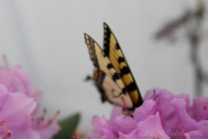 SCsundaysnap - Butterfly On the Move - Sarah Celebrates
