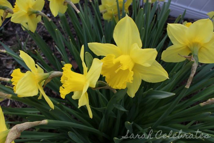 SCsundaysnap - Spring Has Sprung, daffodils