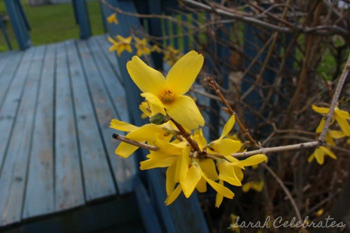 SCsundaysnap - Spring Has Sprung, flowering bush