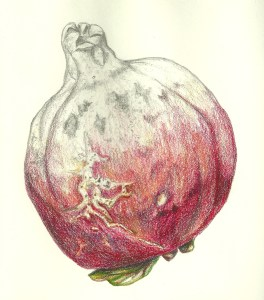 Pomegranate, 2000, graphite and colored pencil