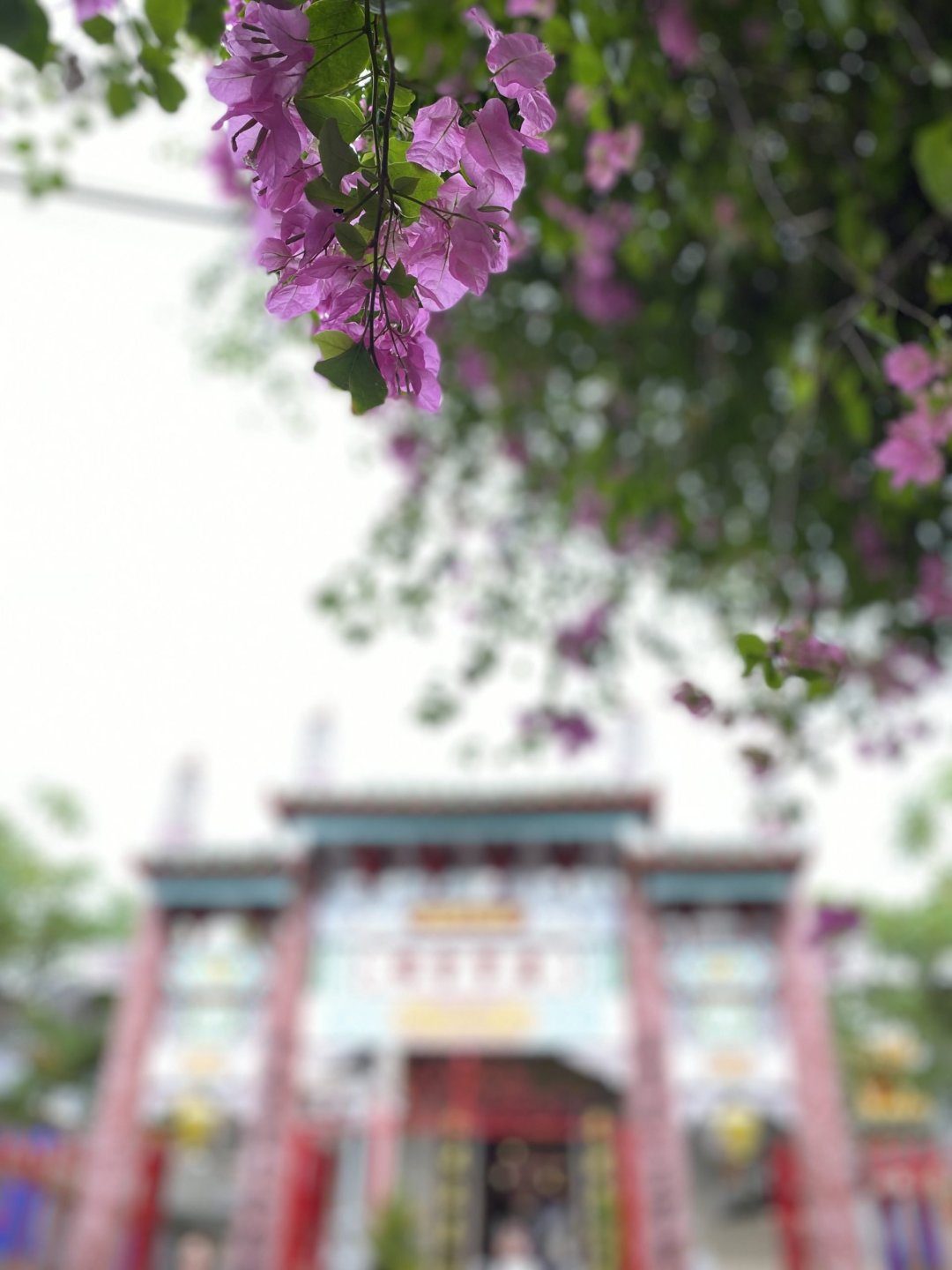 light purple flowers with temple in the background in Hoi An