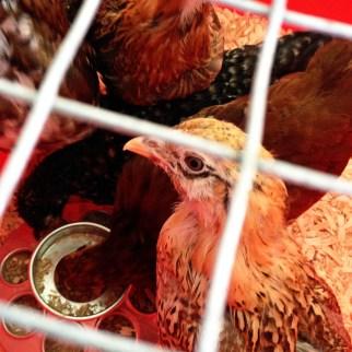 Chicken Coop Ribbon Cutting