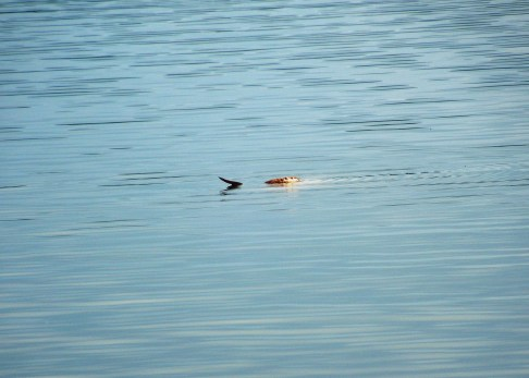 River otter in Heart Lake