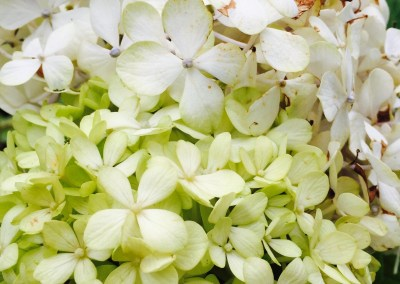 Fade to Lime Green Hydrangea No_4094