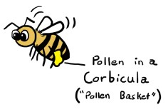 honey-bee-pollen-basket-corbicula