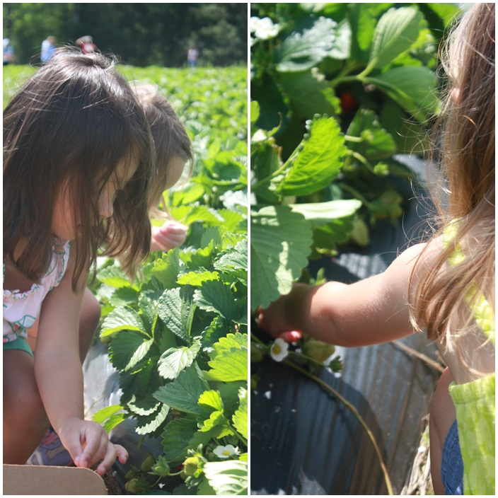 Strawberry Picking via Sarah Sofia Productions