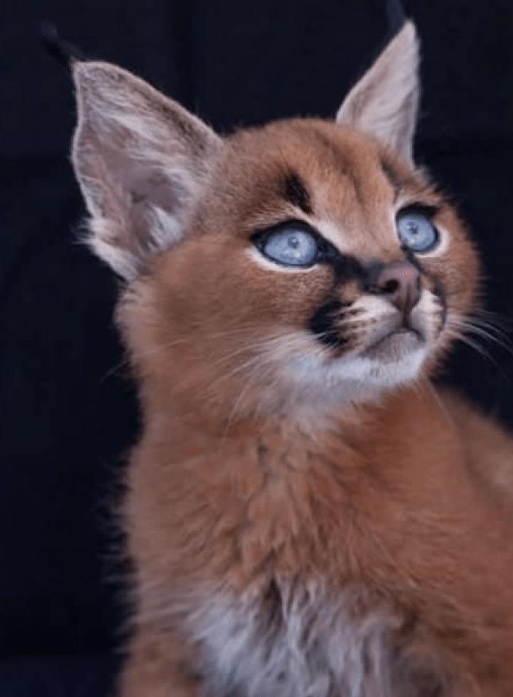 cutest cat species
