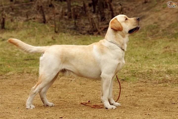 Smartest Dog breeds