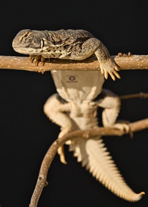Spiny Tailed lizard/ Uromastyx Hardwickii