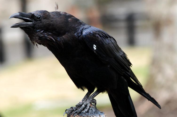 Gramsci, la Sardegna e il corvo nero. (di Fiorenzo Caterini)