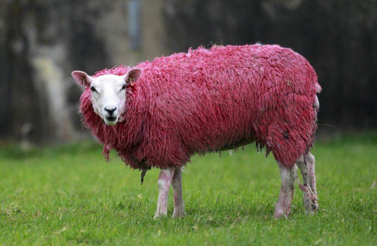 Il Personaggio del Giorno: la pecora rosa del Giro d'Italia.