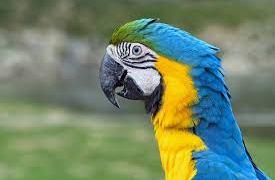 La Crusca e il pappagallo (di Cosimo Filigheddu)