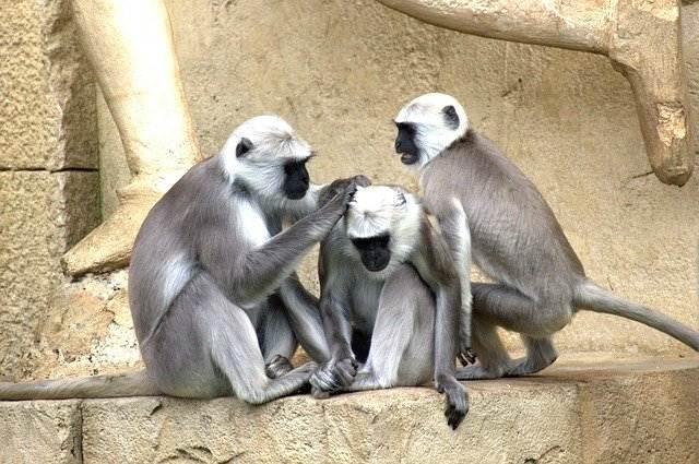 green monkeys 112275 640 compress31