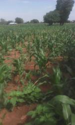 Maize being grown on SASHITA land in Samuye!