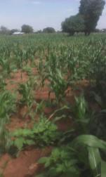 Maize being grown on SASHITA land in Samuye!