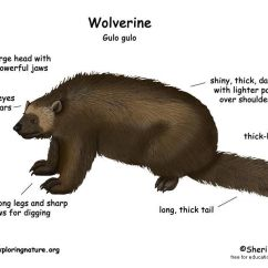 Diagram Of Teeth And Their Numbers 98 Dodge Ram 1500 Factory Radio Wiring The Wolverine - Largest Member Weasel Family