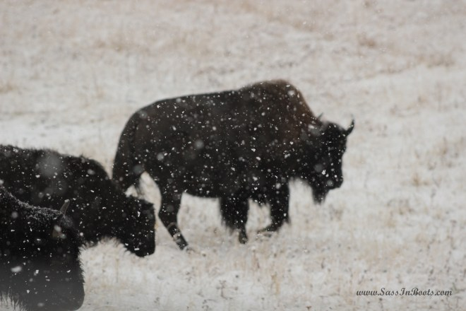 bison-in-the-snow-yellowstone-national-park