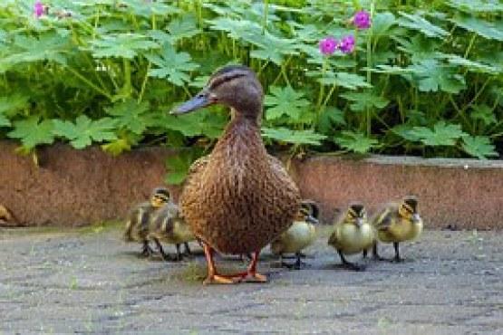 duck-760190__180