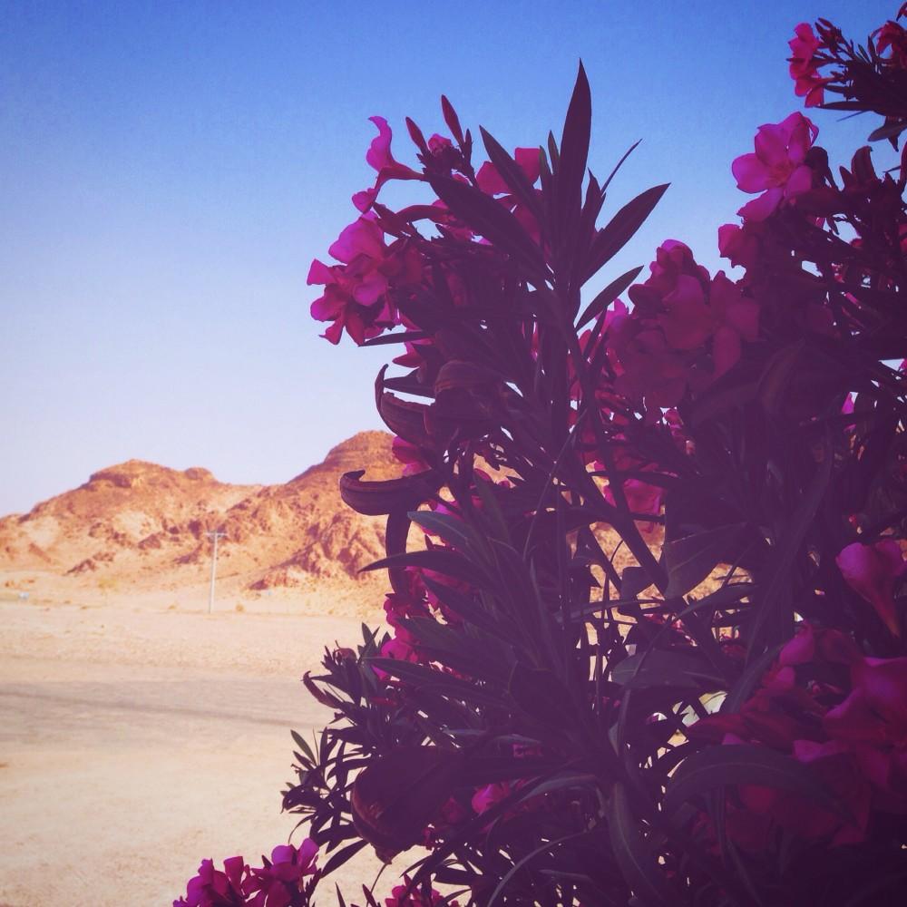 Desert flowers in Jordan