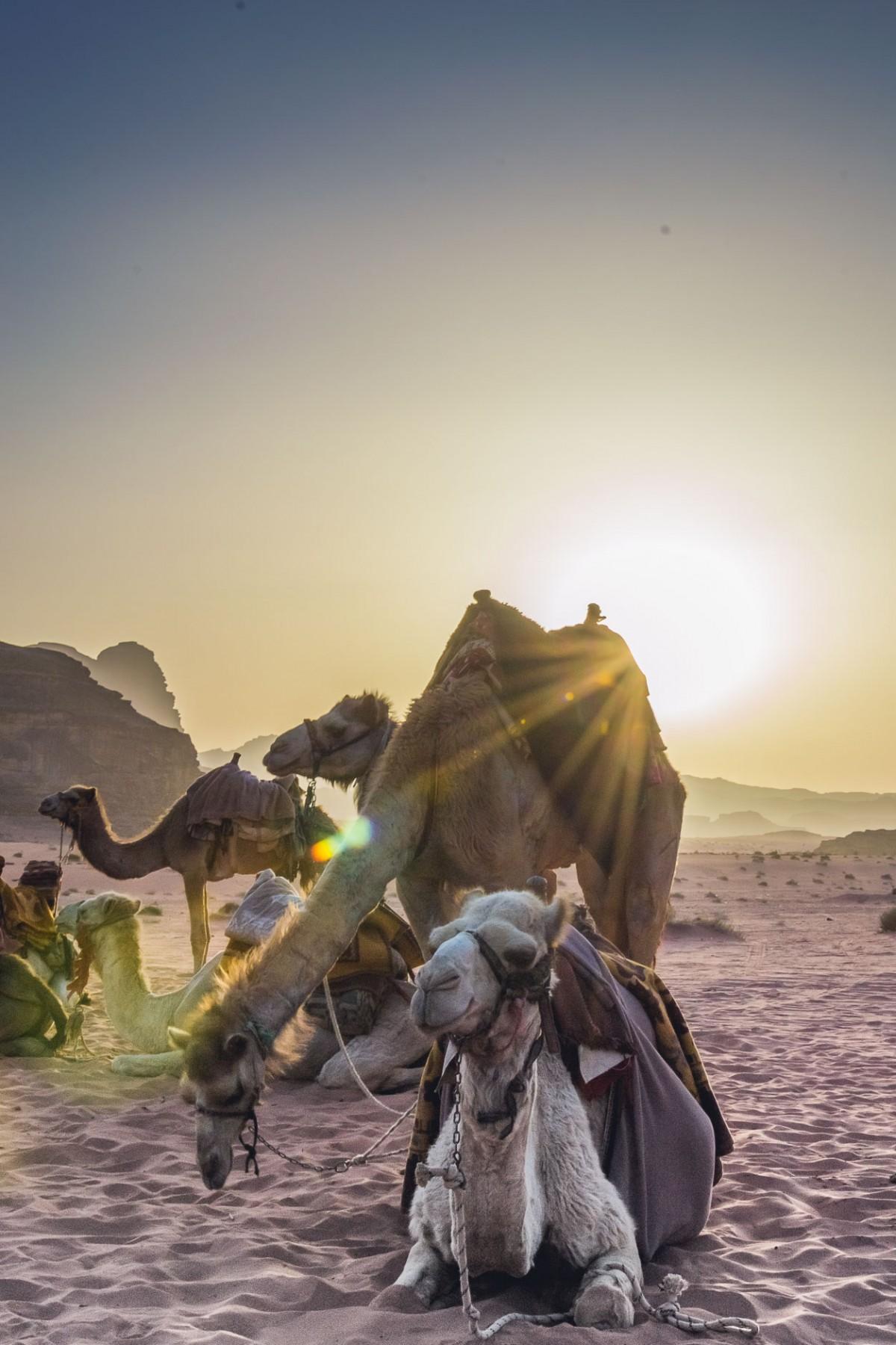 Camels in Jordan