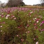 うまの牧場付近の花畑