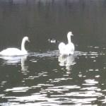 白鳥が泳いでいました