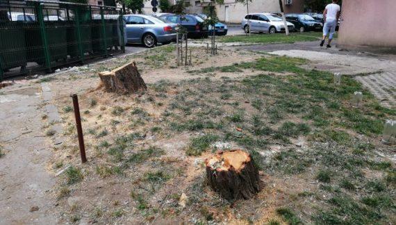 """FOTO/VIDEO. Copaci supraviețuitori din cartierele Sătmarului, tăiați fără milă! Anterior, primăria """"a decis"""" altfel soarta unuia"""