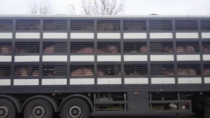 3 transportatori de animale prinși fără acte