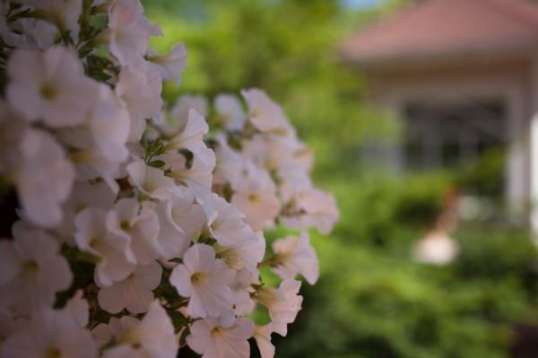 valkoiset kukat-2-3