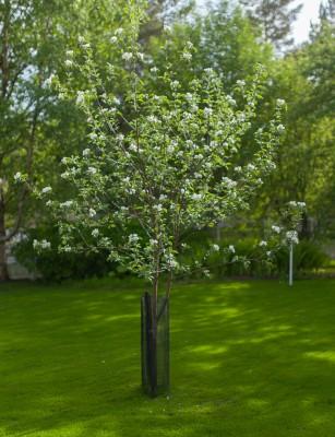 Omenapuut kukassa-11