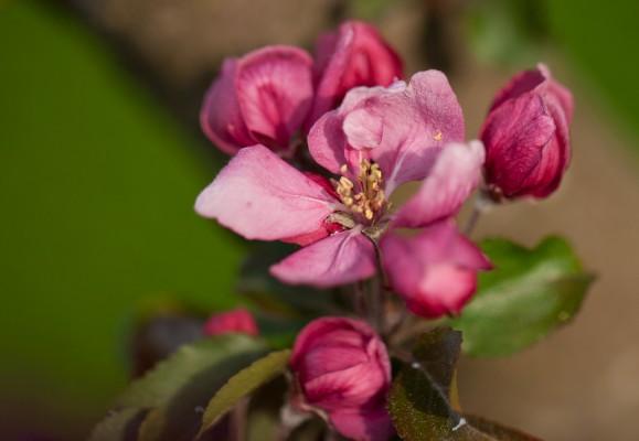 Omenapuut kukassa-4
