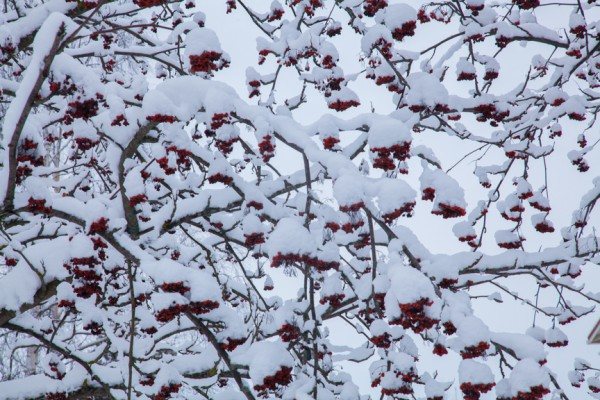 Pihlajanmarjat ja lumi_-2