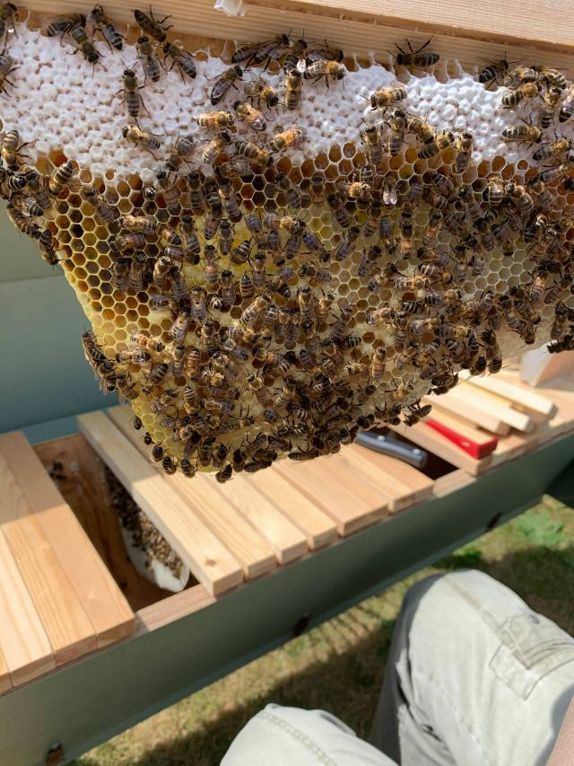 Capped honey in top bar hive