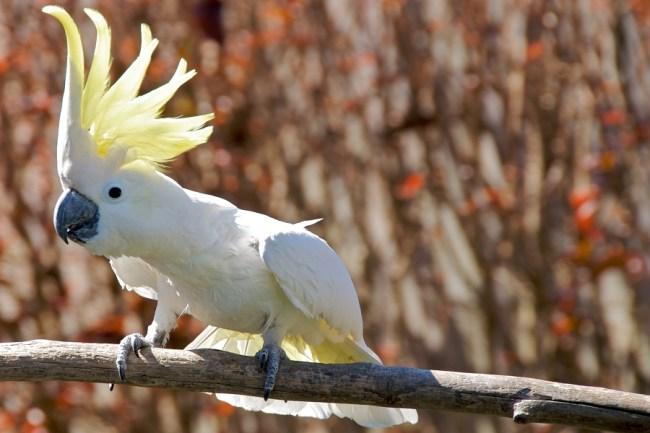 Kakatua putih Jambul Kuning Raja Ampat