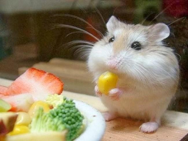 Hamster omnivora