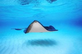 7 Fakta Ikan Pari, Makhluk Terbang dari Dasar Laut