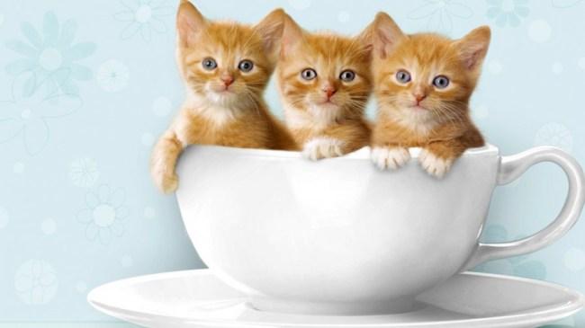 Download 93+  Gambar Kucing Kembar Lucu Terbaik Gratis