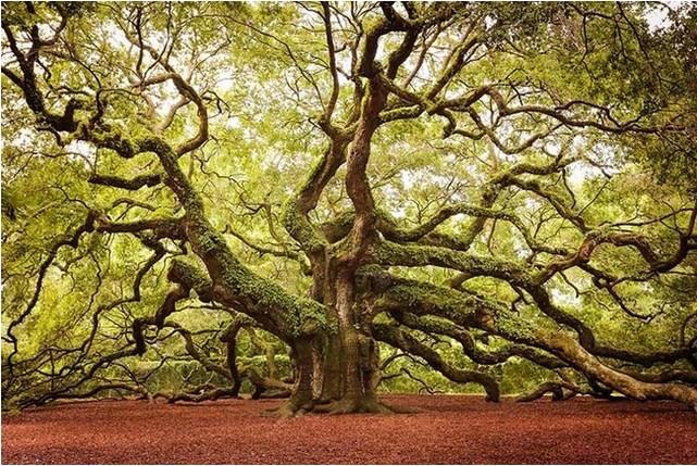 Pohon Oak Malaikat