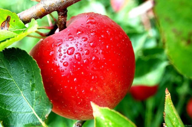 316512-apple-fruit