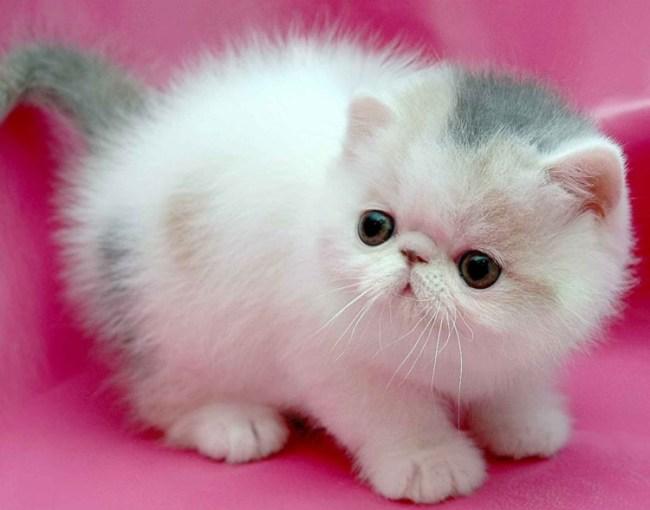 Unduh 80+  Gambar Kucing Persia Imut Terbaik Gratis