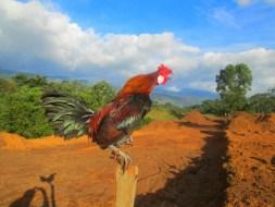18 Ciri Ayam Jago yang Bagus dan Sehat