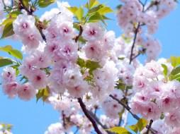 8 Fakta Menarik tentang Bunga Sakura