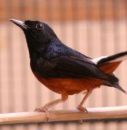 6 Tips Membeli Burung Murai Batu Medan yang Bagus