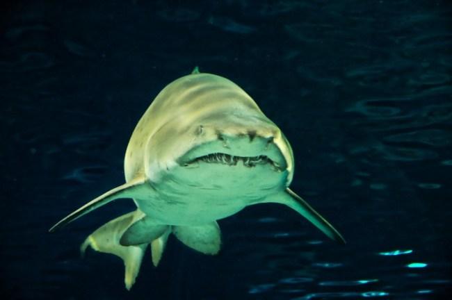 Jenis Ikan hias predator