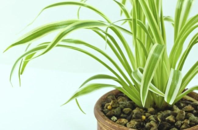 Tanaman Spider Plant