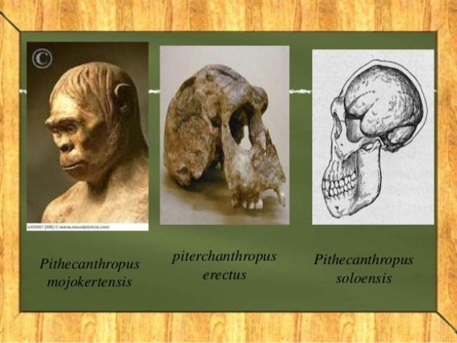 Sejarah Pithecanthropus Mojokertensis Dan Ciri Cirinya