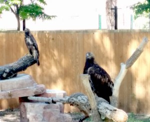 goldeneagles